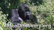 Встреча с гориллой