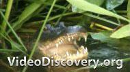 Сборщик крокодильих яиц