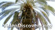 Опылитель финиковой пальмы