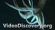 Гигантский кальмар - последняя загадка глубин