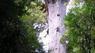 Самое древнее дерево на нашей планете